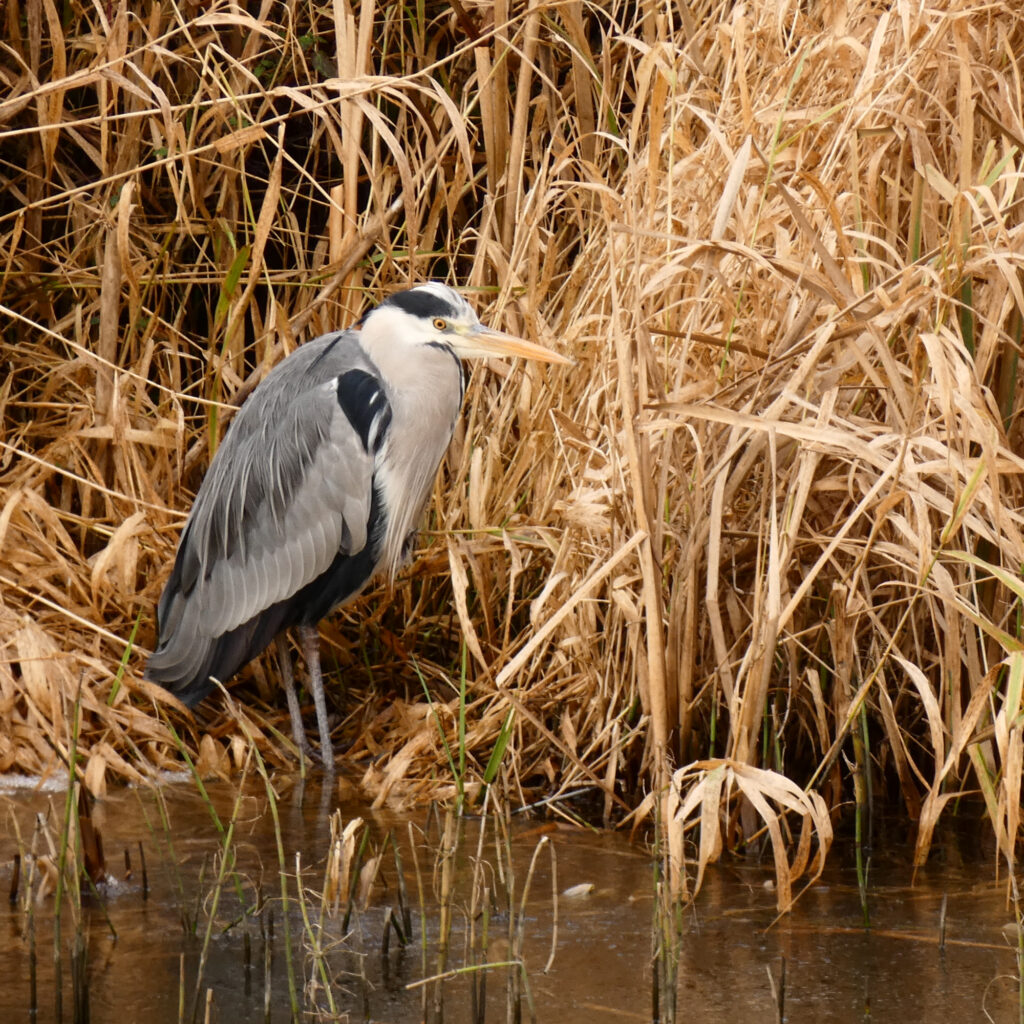 heron on a canal bank